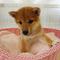柴犬Photo2