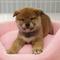 柴犬Photo1