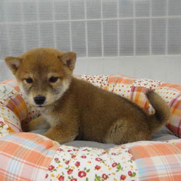 柴犬Photo3