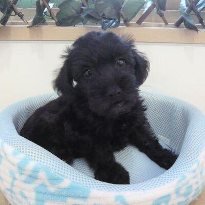 MIX犬(プードル×シュナウザー)Photo2